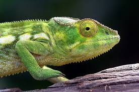 caméléon